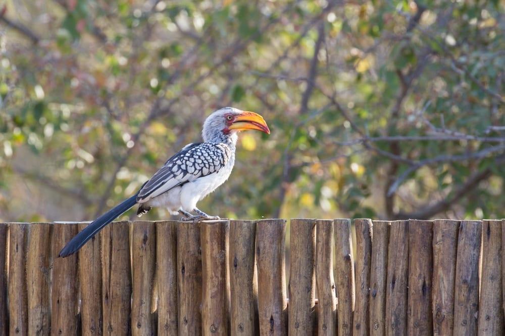 Boma- Hornbill