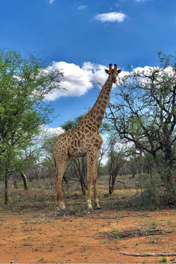 HWE giraffe